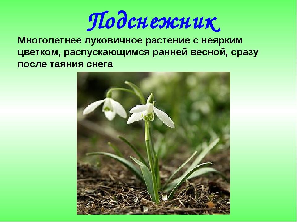 Подснежник Многолетнее луковичное растение с неярким цветком, распускающимся...