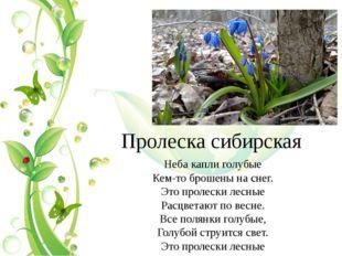Пролеска сибирская Неба капли голубые Кем-то брошены на снег. Это пролески ле
