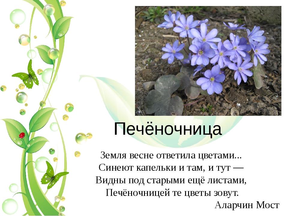 Печёночница Земля весне ответила цветами... Синеют капельки и там, и тут —...
