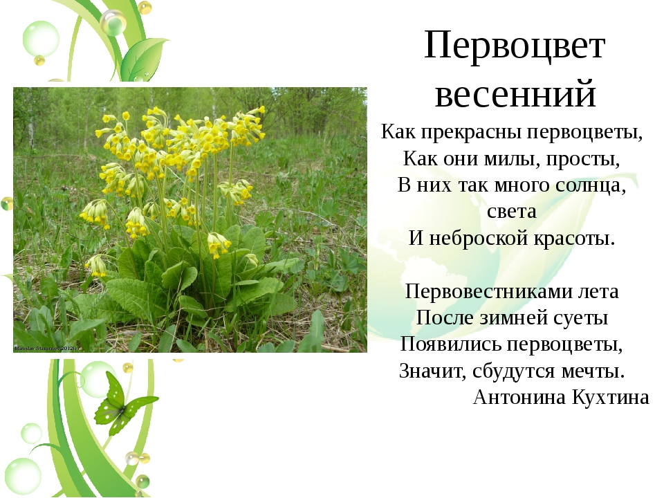 Первоцвет весенний Как прекрасны первоцветы, Как они милы, просты, В них так...