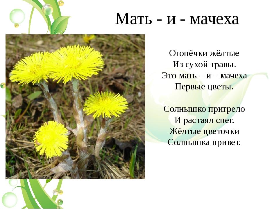 Мать - и - мачеха Огонёчки жёлтые Из сухой травы. Это мать – и – мачеха Первы...