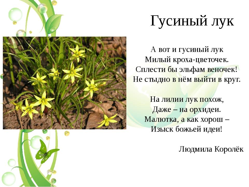 Гусиный лук А вот и гусиный лук Милый кроха-цветочек. Сплести бы эльфам веноч...