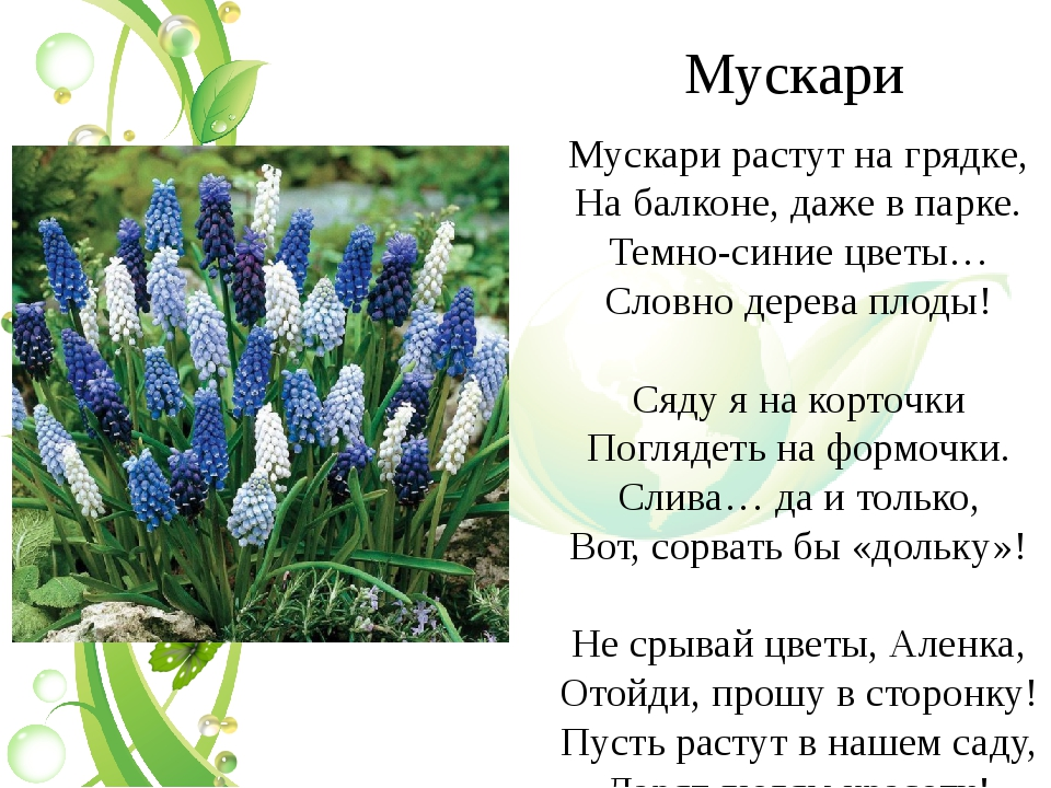 Мускари Мускари растут на грядке, На балконе, даже в парке. Темно-синие цветы...
