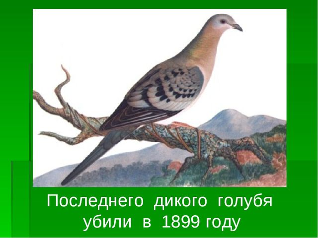 Последнего дикого голубя убили в 1899 году