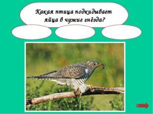 Какая птица ищет пищу подо льдом? ворона цапля оляпка