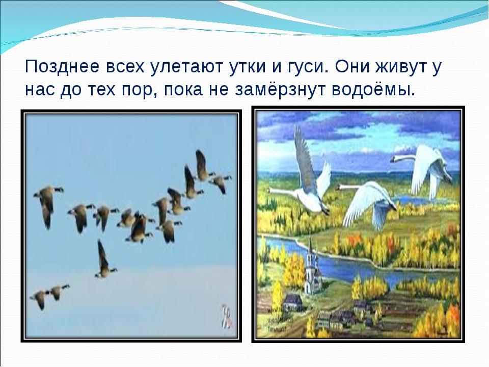 Позднее всех улетают утки и гуси. Они живут у нас до тех пор, пока не замёрзн...
