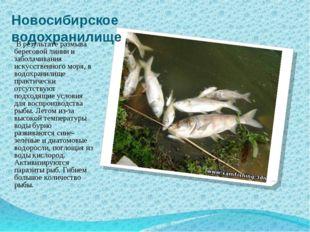 Новосибирское водохранилище В результате размыва береговой линии и заболачива