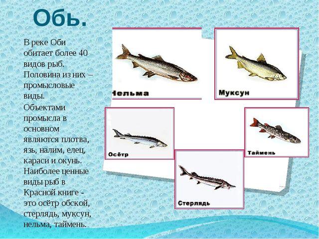 Обь. В реке Оби обитает более 40 видов рыб. Половина из них – промысловые вид...