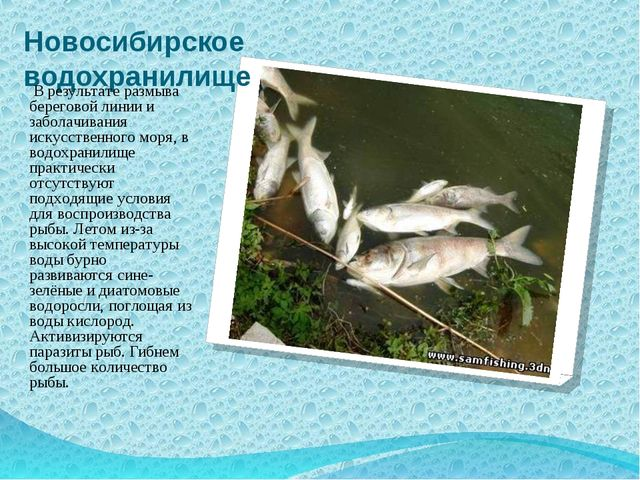 Новосибирское водохранилище В результате размыва береговой линии и заболачива...