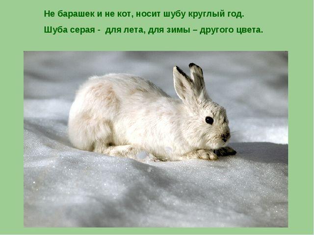 Не барашек и не кот, носит шубу круглый год. Шуба серая - для лета, для зимы...