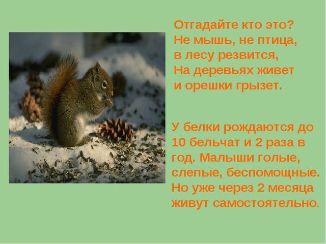 Отгадайте кто это? Не мышь, не птица, в лесу резвится, На деревьях живет и ор...