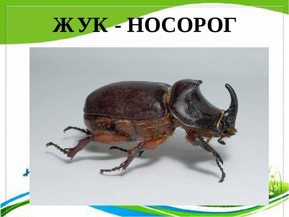 ЖУК - НОСОРОГ