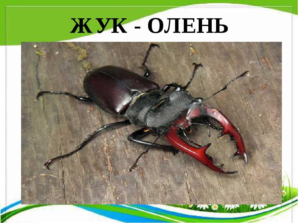 ЖУК - ОЛЕНЬ