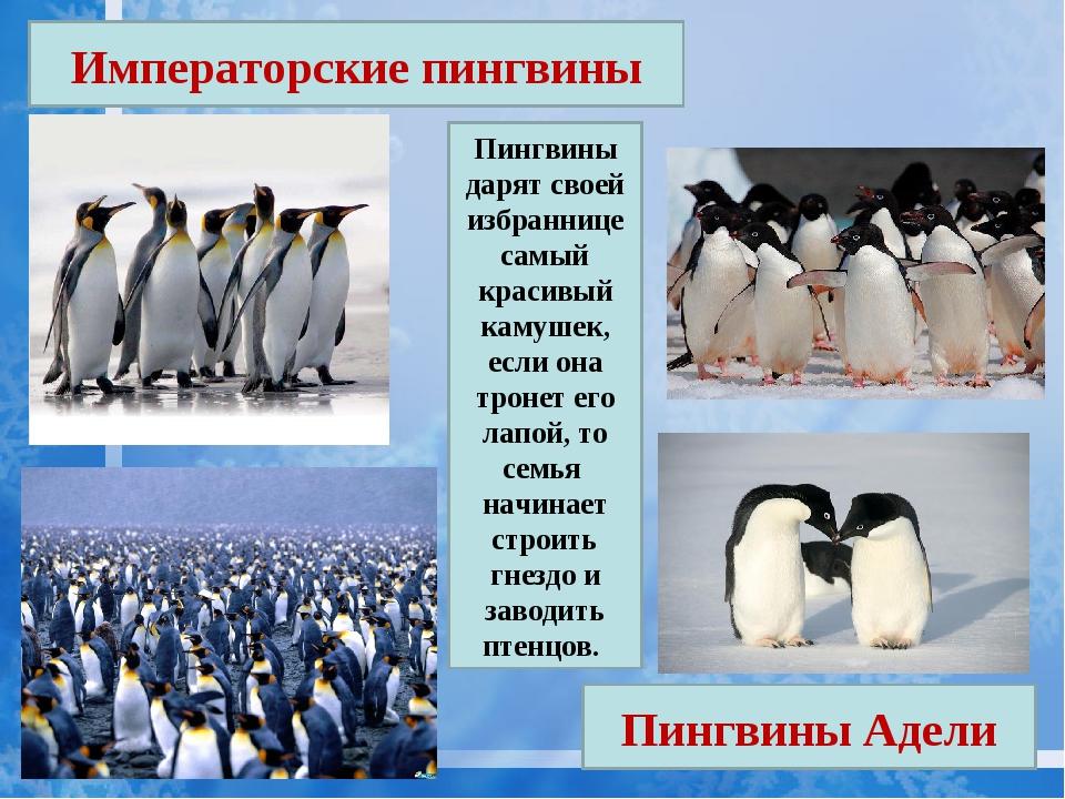 Императорские пингвины Пингвины Адели Пингвины дарят своей избраннице самый к...
