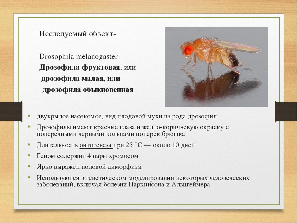 Исследуемый объект- Drosophila melanogaster- Дрозофила фруктовая, или дрозоф...