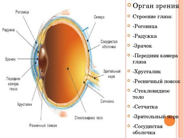 Орган зрения Строение глаза: -Роговица -Радужка -Зрачок -Передняя камера глаз...