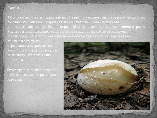Веселка Это самый-самый редкий в мире гриб! Размером он с куриное яйцо. Как т...