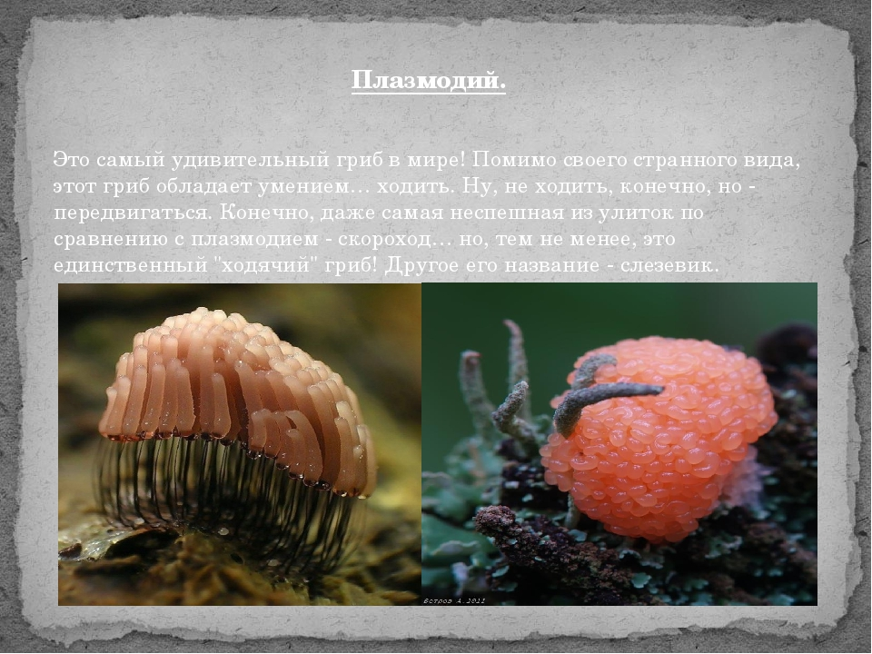 Плазмодий. Это самый удивительный гриб в мире! Помимо своего странного вида,...