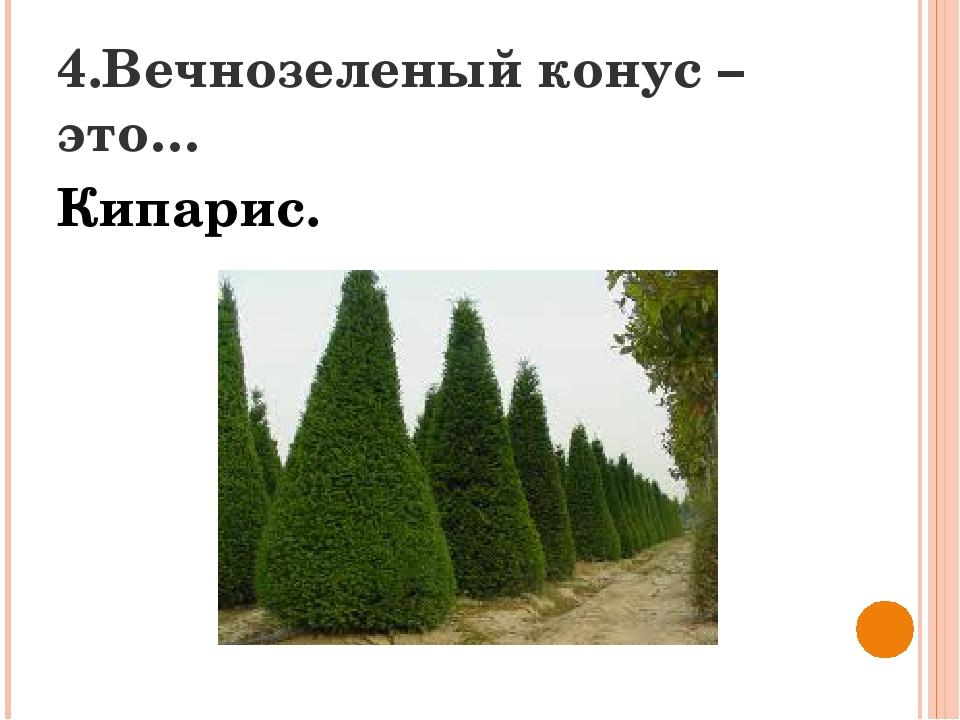 4.Вечнозеленый конус – это… Кипарис.