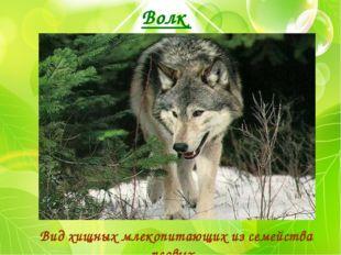 Волк Вид хищных млекопитающих из семейства псовых.