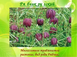 Ря́бчик ру́сский Многолетнее травянистое растение, вид рода Рябчик, семейство