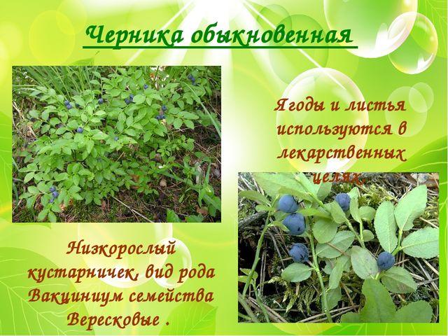 Черника обыкновенная Низкорослый кустарничек, вид рода Вакциниум семейства Ве...