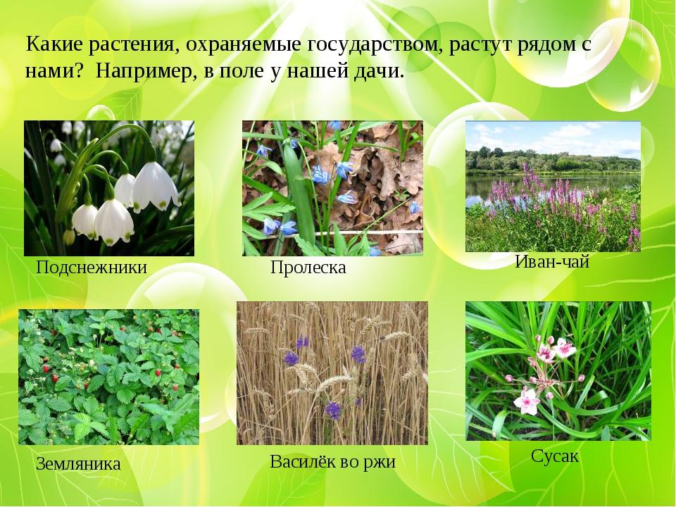 Какие растения, охраняемые государством, растут рядом с нами? Например, в пол...