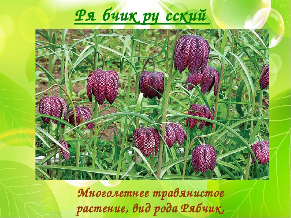 Ря́бчик ру́сский Многолетнее травянистое растение, вид рода Рябчик, семейство...
