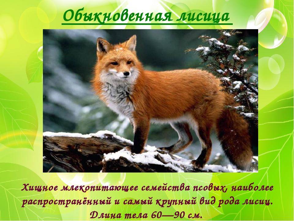 Обыкновенная лисица Хищное млекопитающее семейства псовых, наиболее распростр...