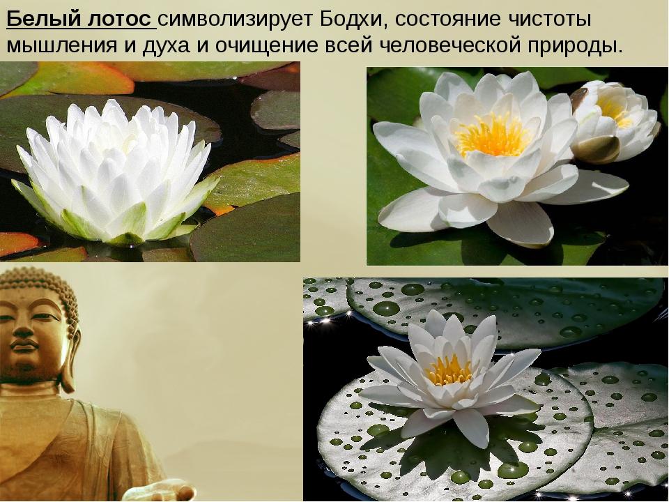 Белый лотос символизирует Бодхи, состояние чистоты мышления и духа и очищение...