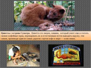 Циветты с острова Суматра. Циветта-это зверек, хищник, который умеет еще и г
