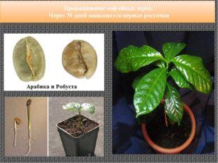 Проращивание кофейных зерен. Через 70 дней появляются первые росточки