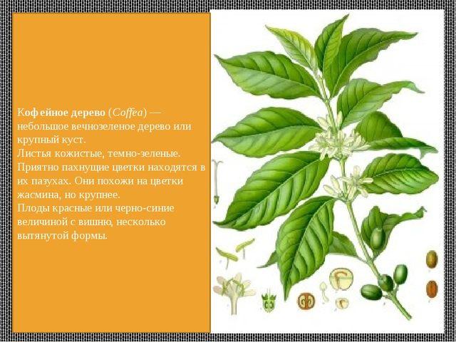 Кофейное дерево (Coffea) — небольшое вечнозеленое дерево или крупный куст. Ли...