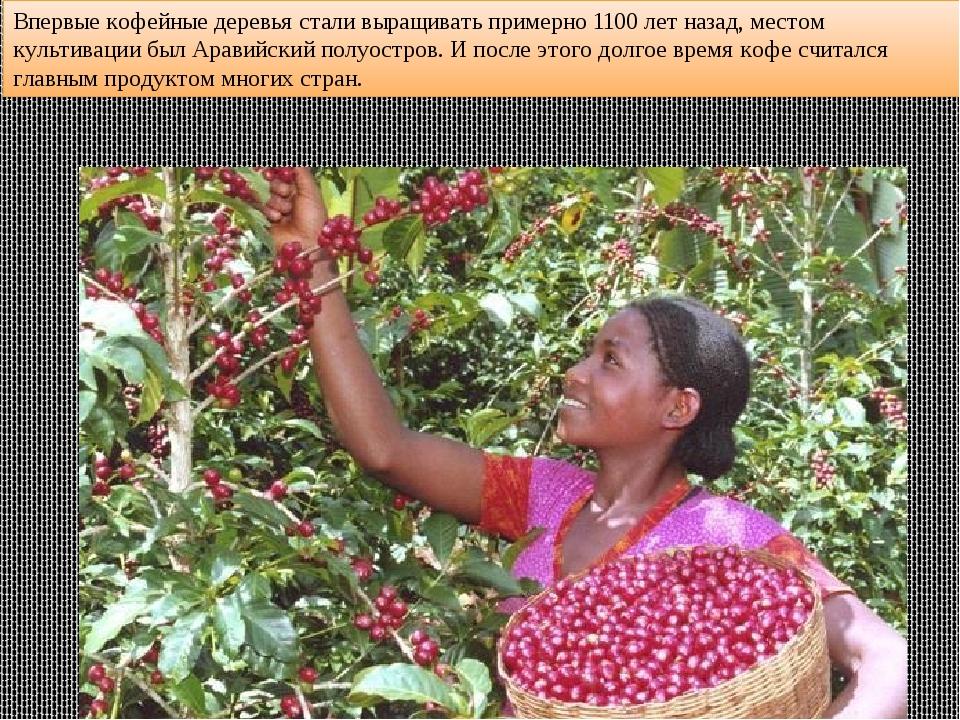 Впервые кофейные деревья стали выращивать примерно 1100 лет назад, местом кул...