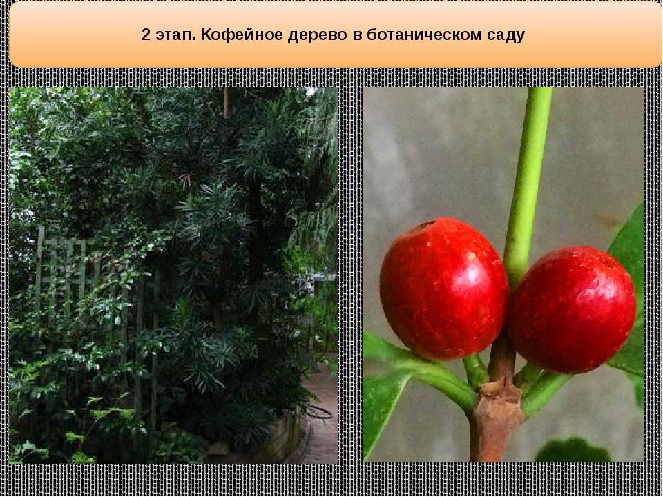 2 этап. Кофейное дерево в ботаническом саду