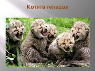 Котята гепарда