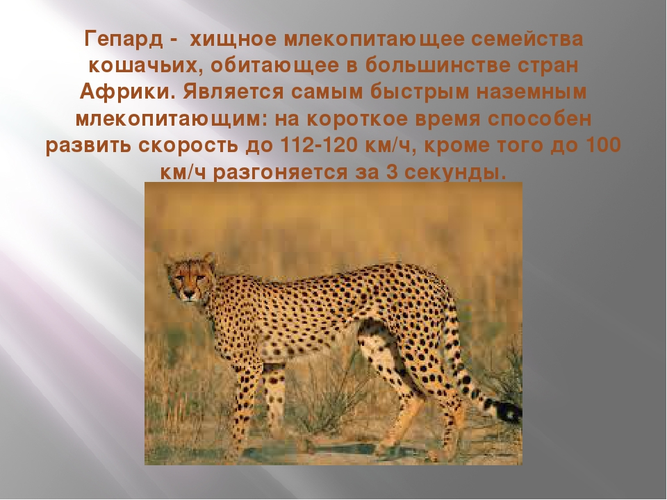 Гепард - хищное млекопитающее семейства кошачьих, обитающее в большинстве стр...