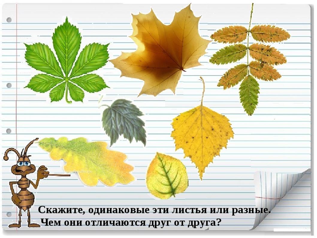 Скажите, одинаковые эти листья или разные. Чем они отличаются друг отдруга?