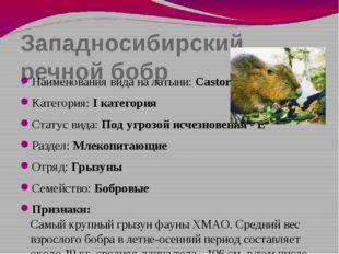 Западносибирский речной бобр Наименования вида на латыни: Castor fiber pohlei