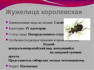 Жужелица королевская Наименования вида на латыни: Carabus regalis Категория: