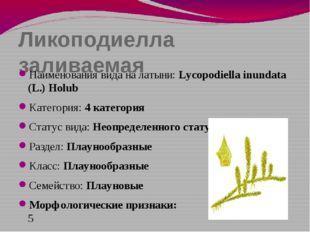 Ликоподиелла заливаемая Наименования вида на латыни: Lycopodiella inundata (L