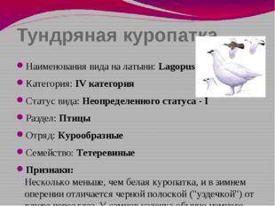 Тундряная куропатка Наименования вида на латыни: Lagopus mutus Категория: IV