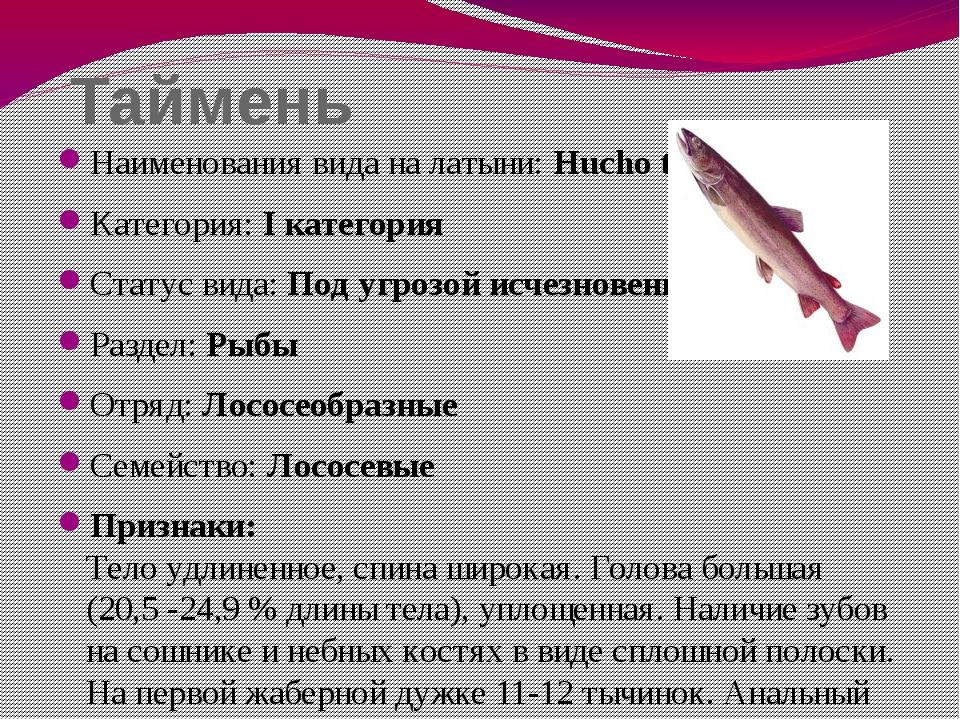 Таймень Наименования вида на латыни: Hucho taimen Категория: I категория Стат...