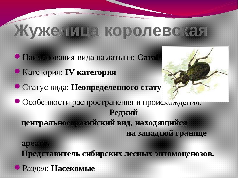 Жужелица королевская Наименования вида на латыни: Carabus regalis Категория:...
