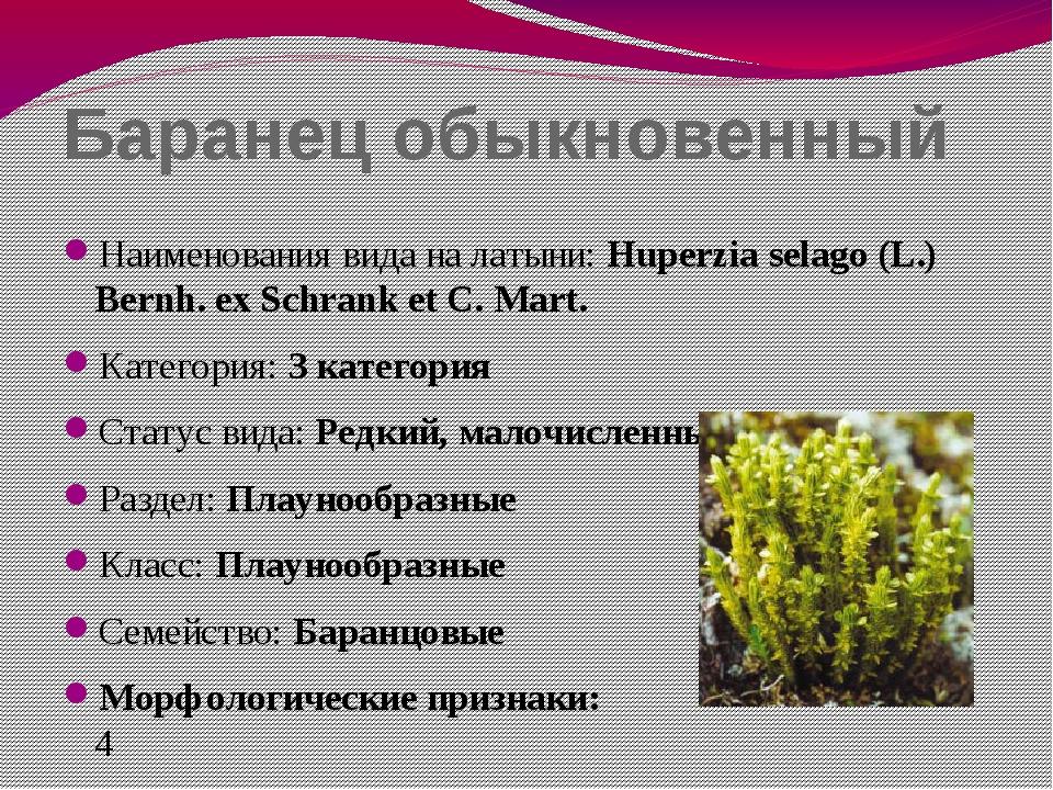 Баранец обыкновенный Наименования вида на латыни: Huperzia selago (L.) Bernh....
