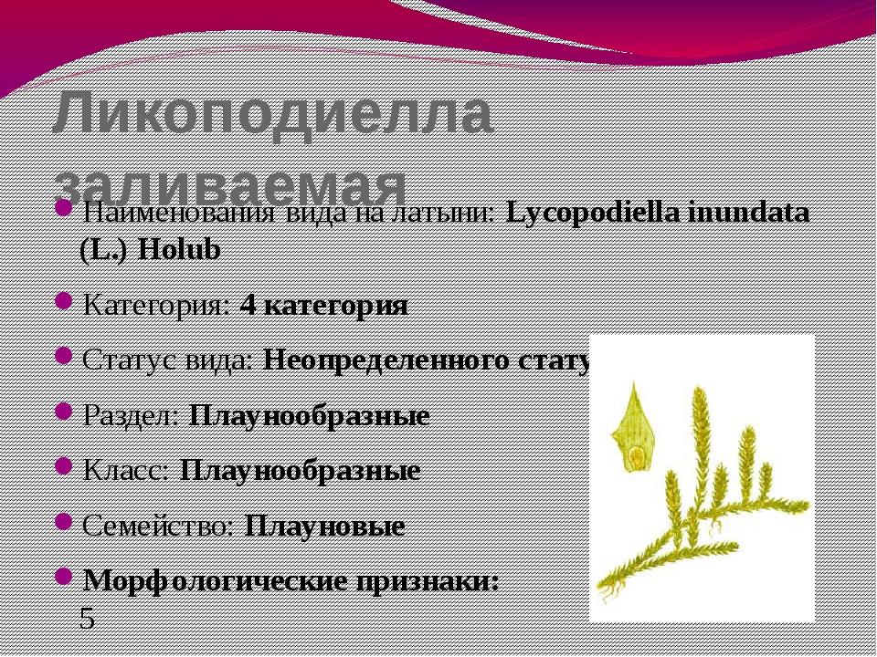 Ликоподиелла заливаемая Наименования вида на латыни: Lycopodiella inundata (L...