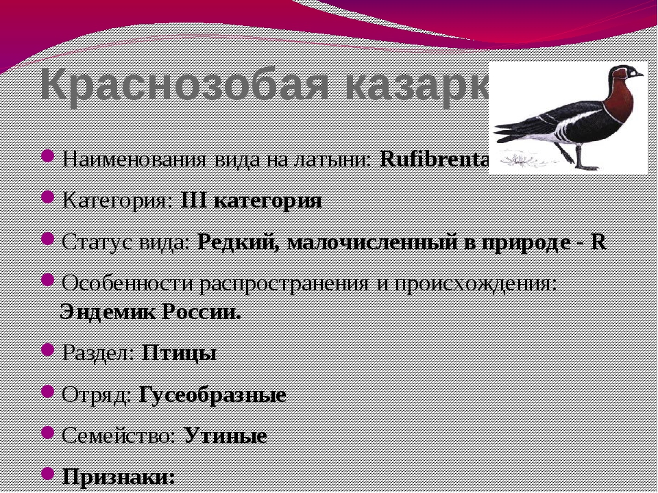 Краснозобая казарка Наименования вида на латыни: Rufibrenta ruficjllis Катего...