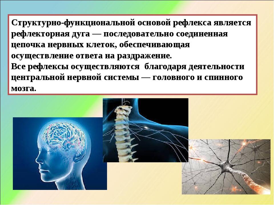 Структурно-функциональной основой рефлекса является рефлекторная дуга — после...