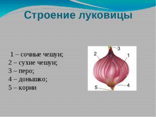 Строение луковицы 1 – сочные чешуи; 2 – сухие чешуи; 3 – перо; 4 – донышко; 5