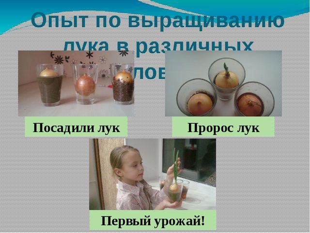 Опыт по выращиванию лука в различных условиях Посадили лук Пророс лук Первый...